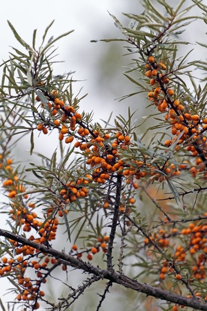 lurid: Berries of sandthorn or seabuckthorn in autumn.