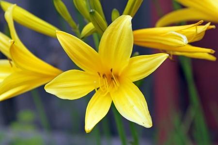 anthesis: Blossom-time of Hemerocallisfulva daylily. Summer. Stock Photo