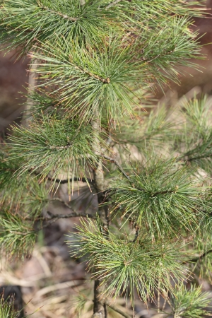 "siberian pine: Siberian stone pine in April  Shoot apex of Pinus sibirica ""cedar"" - Siberian stone pine - cembra pine with sunscald or sunscorch"