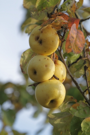 The apples of late-maturing variety in autumn. The late ripening variety apples are dangling on the tree against the blue sky. photo