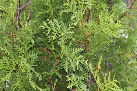 thuja occidentalis: Green background. Thuja occidentalis or white cedar with scale-like needles background.