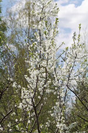 florescence: Vernal plum tree. Spring flowering of a plum tree in the garden. Stock Photo