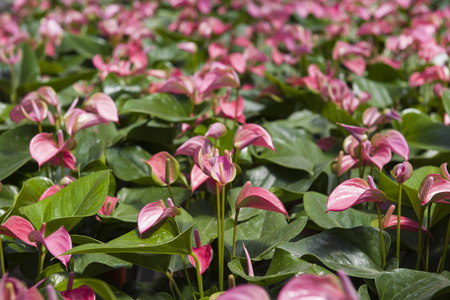 gules: A lot of Anthurium in the field.