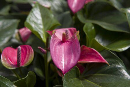 gules: The close-up of Anthurium