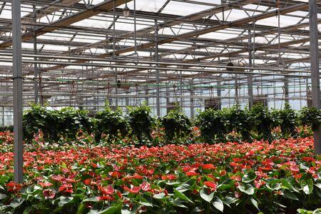 anthurium: Anthurium in greenhouses