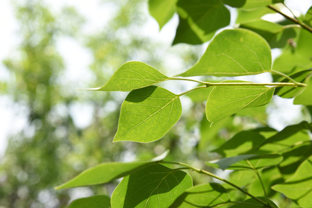 persimmon tree: close-up of leaves Stock Photo