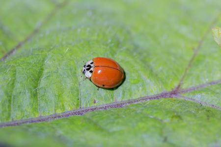 septempunctata: Ladybug on the green leaf Stock Photo