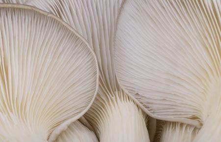 gills: Oyster mushroom gills macro