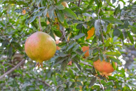 midsagittal: Pomegranate Stock Photo
