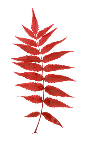 Red fern leaf isolated on white background.