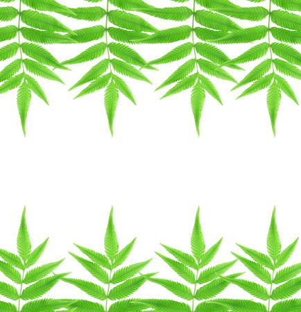 furled: Green fern leaf isolated on white background.