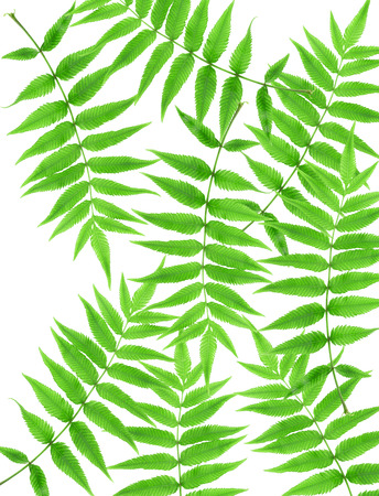 furl: Green fern leaf isolated on white background.