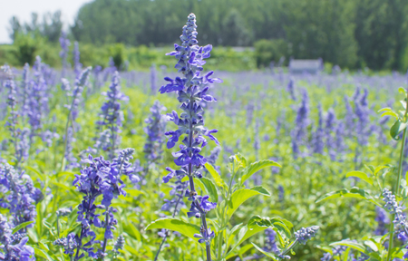 lavender coloured: Lavender flowers in the field