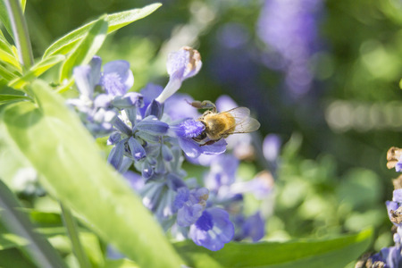 bee on flower: Bee flying to lavender flower Stock Photo