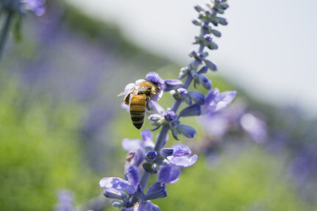 bee on flower: Bee on a lavender flower.