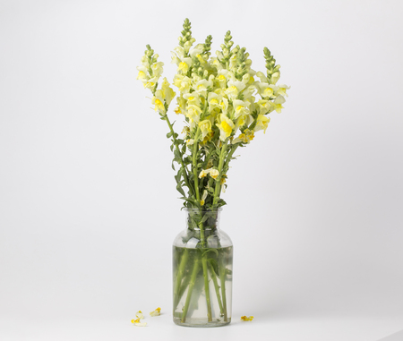 Yellow Beautiful Gladiolus In A Glass Vase Stock Photo Picture And