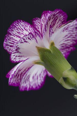 Closeup Carnation Flower