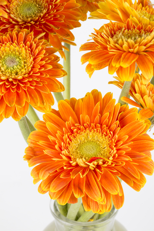 Yellow flower Barberton daisy closeup on the white background Stock Photo