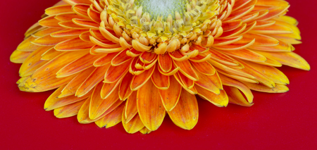Yellow flower Barberton daisy closeup on the red background