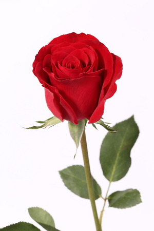 Closeup of a red rose on the white background