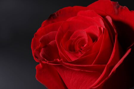The closeup of a red rose on black. Stock Photo