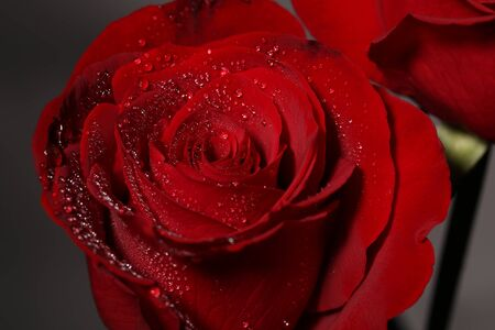 Water drops glisten on the petals of red rose.
