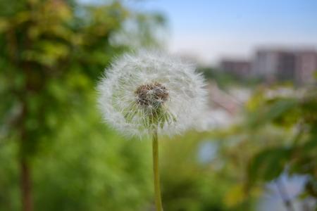 One dandelion closeup in nature