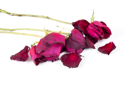 Withered rose isolated over white background. Stock Photo