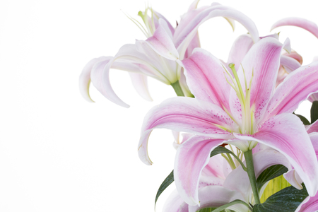 Beautiful Pink Lily isolated on a white background.