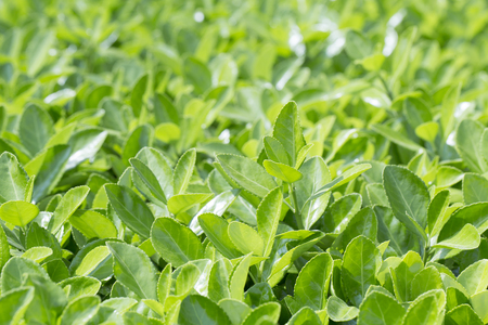 Euonymus plant in Spring for green background. 版權商用圖片