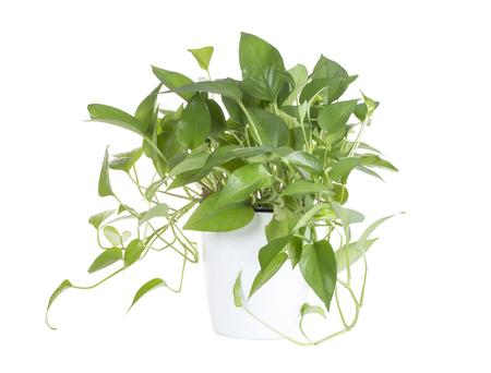 Green plant in white vase, fresh plant.