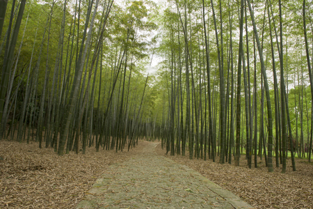 A path in Bamboo forest