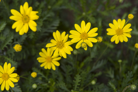Yellow chamomile flowers in nature. Stock Photo