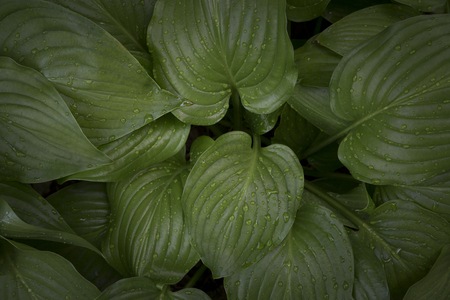 Close up of hosta green leaves with dew drops. Top view.