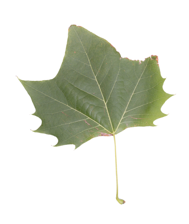lifeline: Green leaf on the white background.