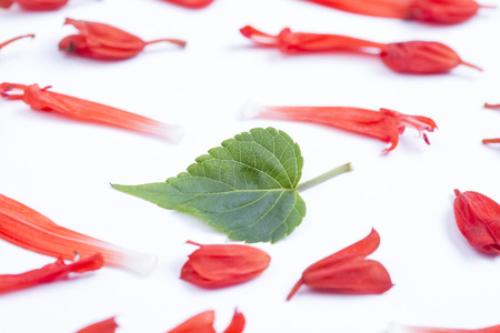 Salvia splendens flowers and green leaf on the white background. Stock Photo