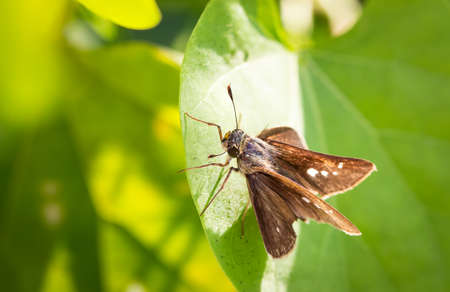 Caltoris malaya (Evans, 1926) , Malayan Swift , Brown butterflies lie on the leaves that do not have a beautiful morning glow.
