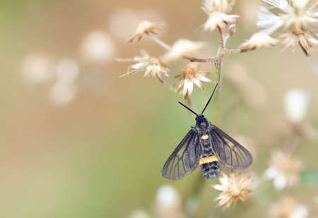 Syntomis duvauchelii  (Boisduval 1828) , A black moth with a yellow girdle perched with a wilted brown flower against a blurred background. Stock Photo