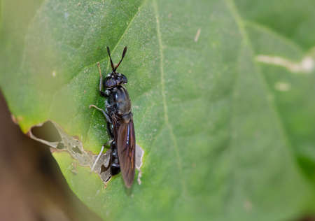 Black soldier fly ( Hermetia illucens) , A black insect with green eyes has a blue pattern in the eyes perched on the foliage in nature with a blurred background. Stock Photo