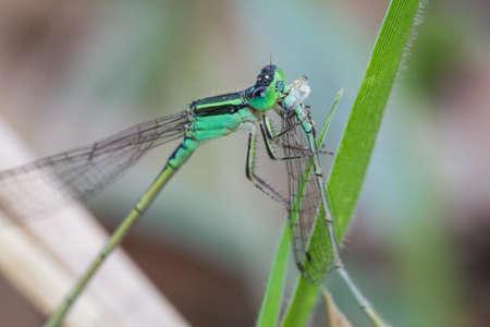Bluetail (Ischnura senegalensis) , The larger needle dragonfly eats the smaller needle dragonfly in nature.