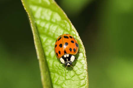 Asian ladybird (Harmonia axyridis f. Succinea)