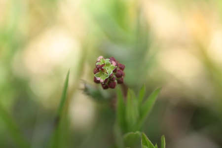 sanguisorba: Small pimprenelle (Sanguisorba minor)