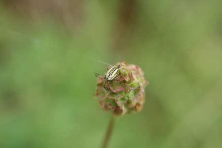 araneidae: Mangore small bottle (Mangora acalypha)