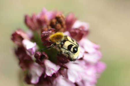 photographies: Trichia fasciatus (Trichius fasciatus)