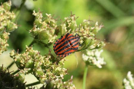 Harlequin bug (Graphosoma lineatum)