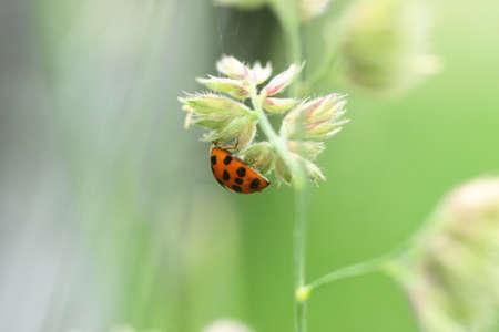 Ladybird Asian Multicolored (Harmonia axyridis)