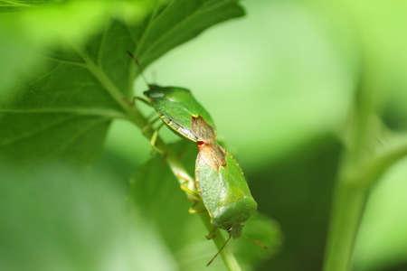 Green bug - Green bug (Palomena prasina)