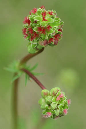 sanguisorba: Sanguisorba minor