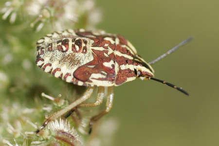 Graphosoma lineatum (Juvenile) Stock Photo