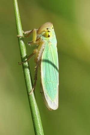 Green leafhopper (Cicadella viridis) Stock Photo